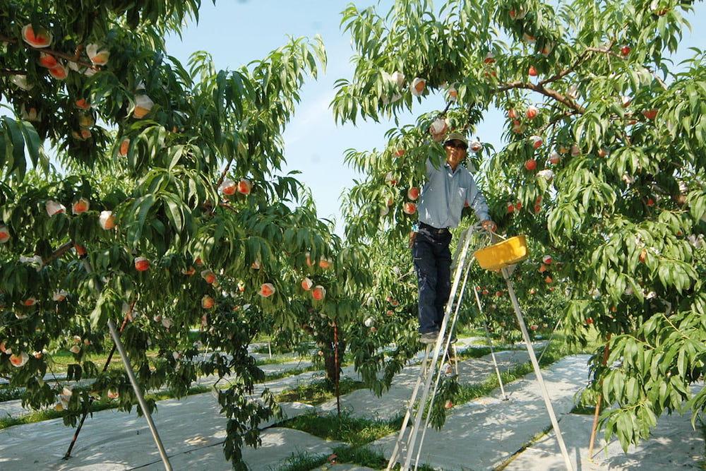 続いては、納得の「桃生産量」「ぶどう生産量」の第1位♡